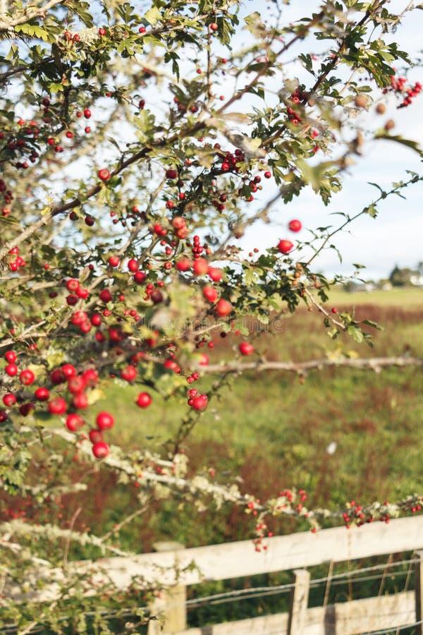 Bayas rojas en una granja NZ imágenes de archivo libres de regalías