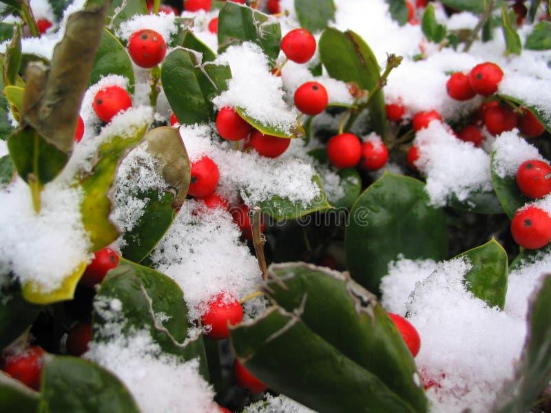 Bayas rojas nevadas foto de archivo