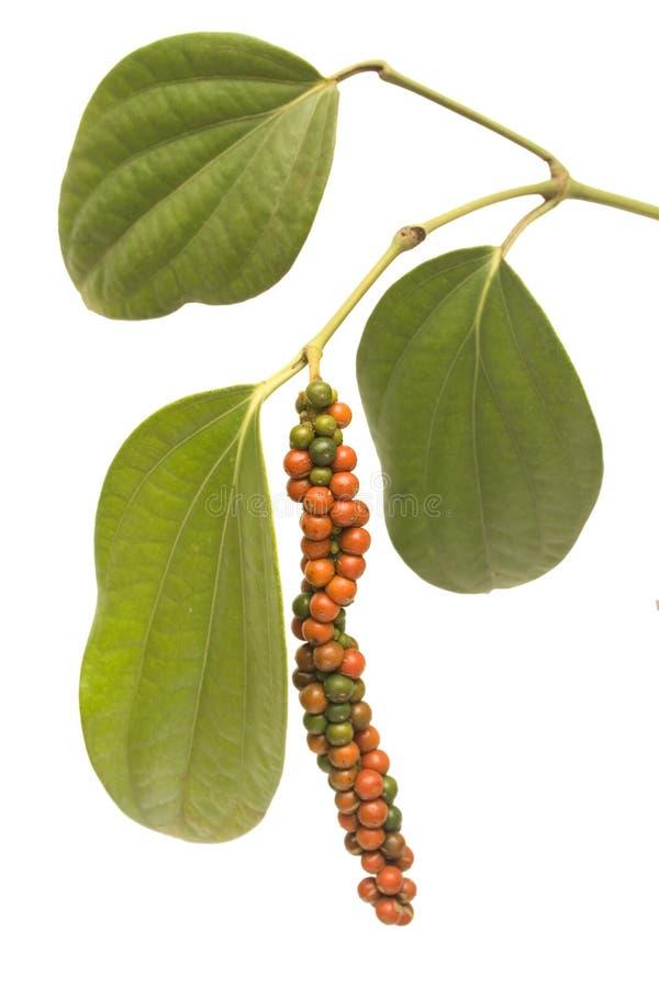 Bayas rojas y verdes del grano de pimienta en la vid aislada imagen de archivo libre de regalías
