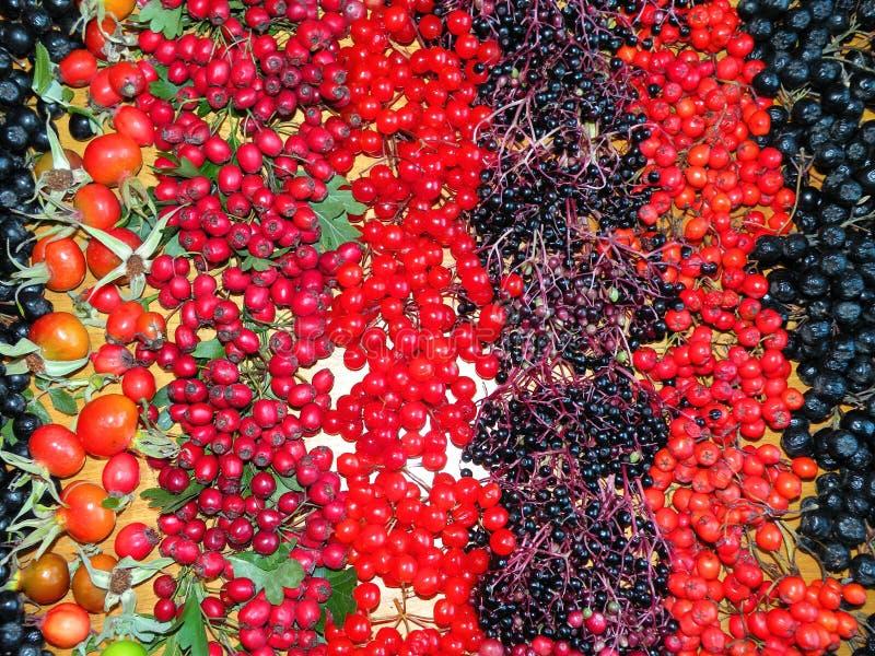 Bayas salvajes del otoño colorido fotos de archivo libres de regalías