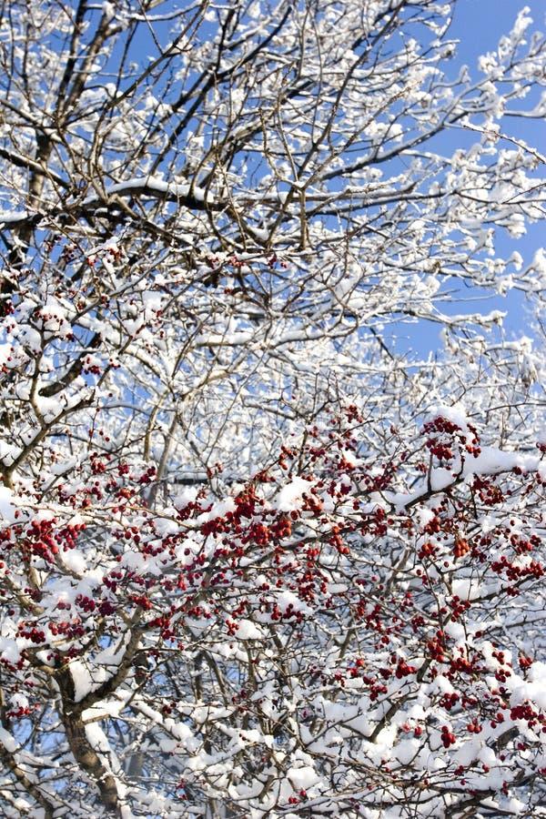 Bayas y nieve rojas fotografía de archivo libre de regalías