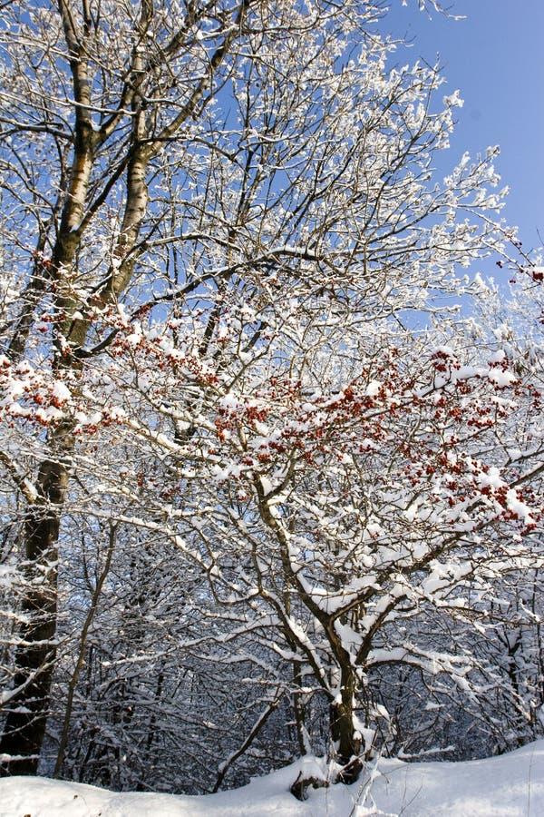 Bayas y nieve rojas fotos de archivo