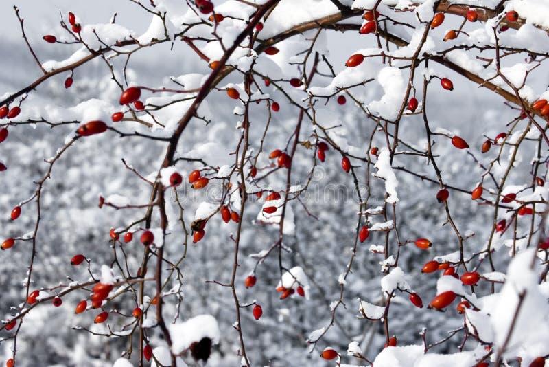 Bayas y nieve rojas imagen de archivo