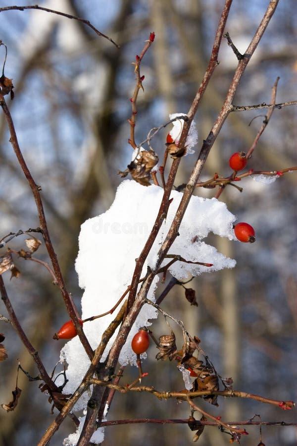 Bayas y nieve rojas imágenes de archivo libres de regalías