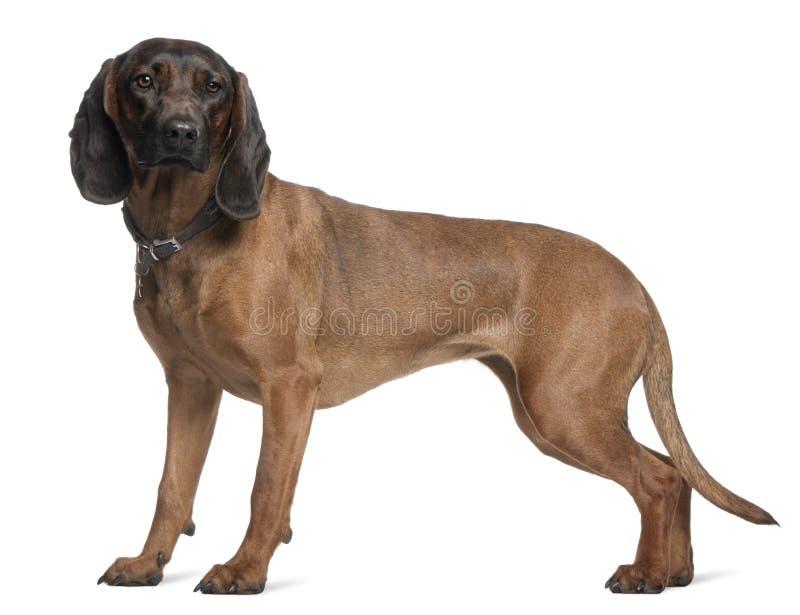 Bayerischer Gebirgsjagdhund, 3 Jahre alt, Stellung lizenzfreie stockbilder