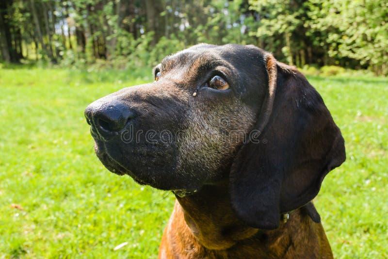Bayerischer Gebirgsjagdhund Bayrischer, Scenthound-Porträt stockbilder