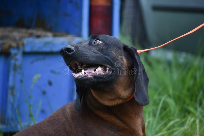 Bayerischer Hund Gebirgsjagdhund Bayerischer Gebirgsschweisshund I lizenzfreie stockfotos