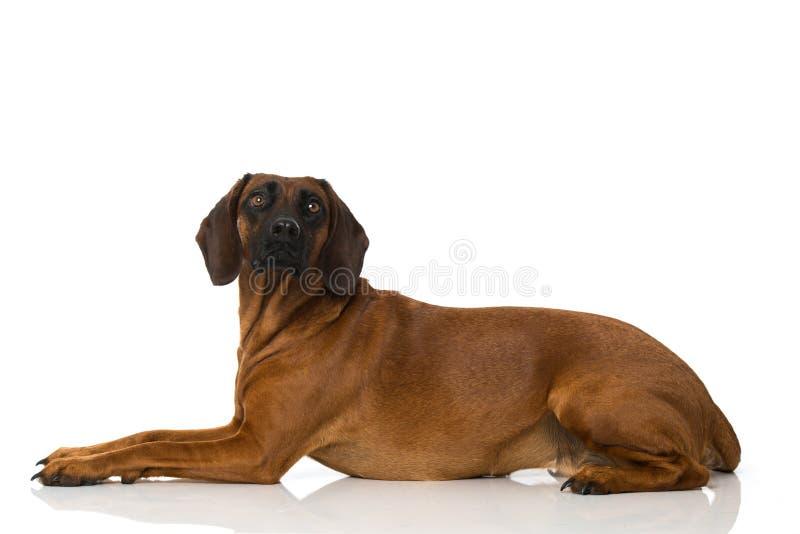 Bayersk berghund fotografering för bildbyråer
