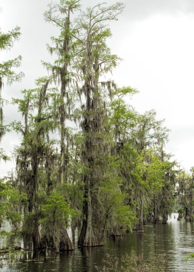 Bayou de Cypress chauve Louisiane - distichum d'axodium image libre de droits