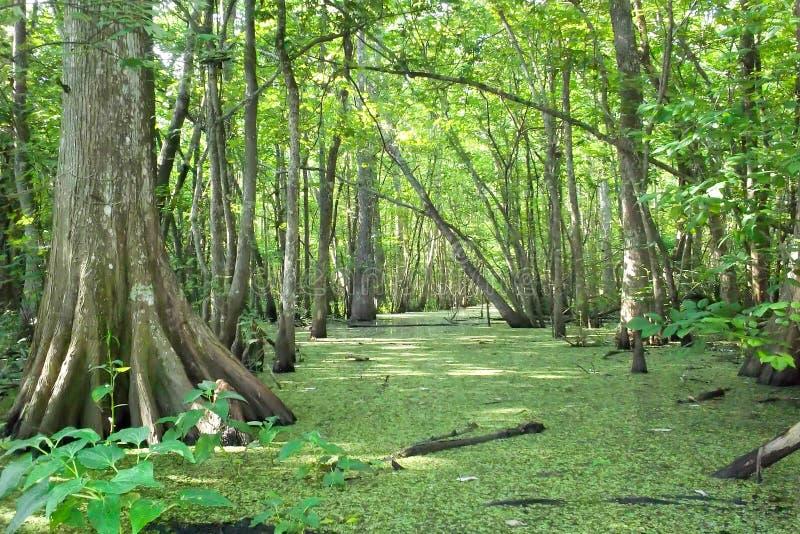 Bayou Louisianas Zypresse lizenzfreies stockbild