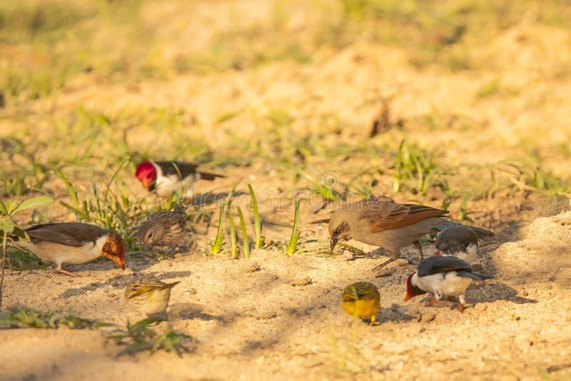 Baywing Cowbird som pickar bland andra fåglar royaltyfria bilder