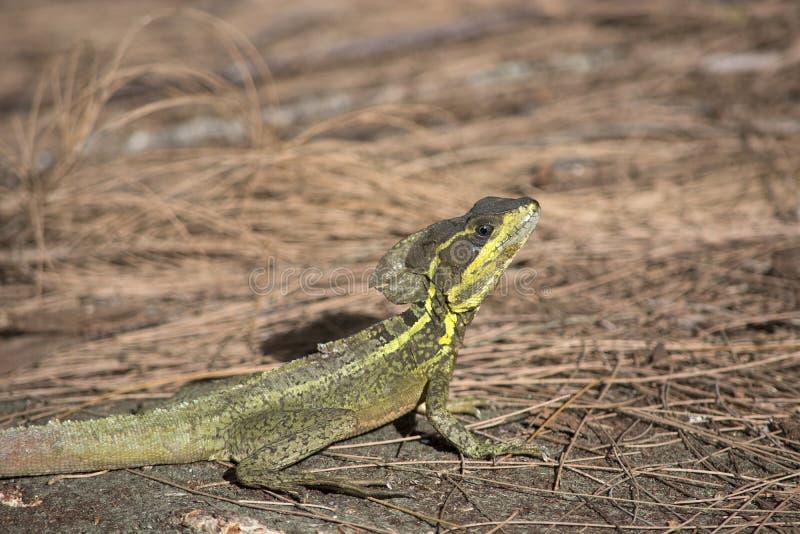 Bazyliszkowa jaszczurka na sosnowej słomie z jaskrawym koloru żółtego grzebieniem i lampasami obrazy royalty free