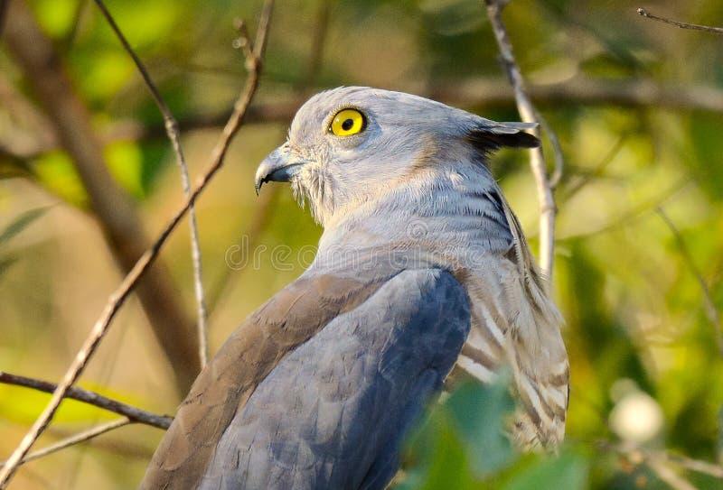 Bazza der Falke mit Haube stockfotografie