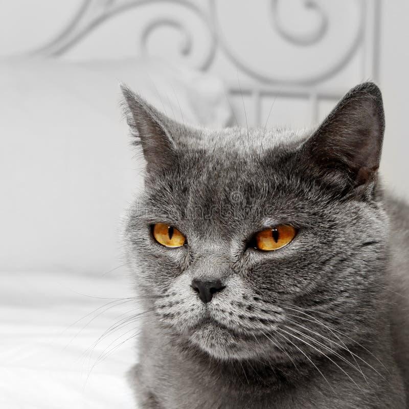 Bbritish krótkiego włosy kot obraz royalty free