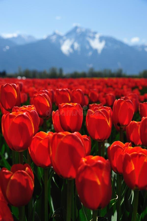 BC tulip field stock photography