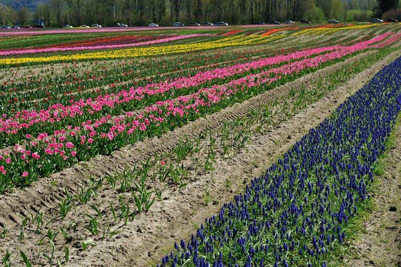 BC tulip field royalty free stock photo