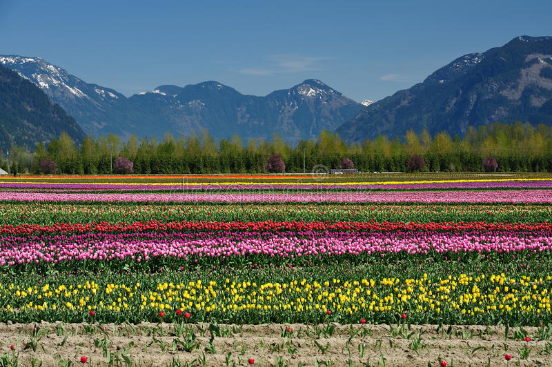 BC tulip field royalty free stock photography