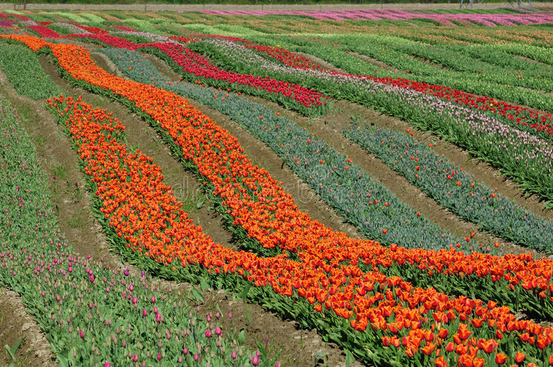 BC tulip field royalty free stock photos