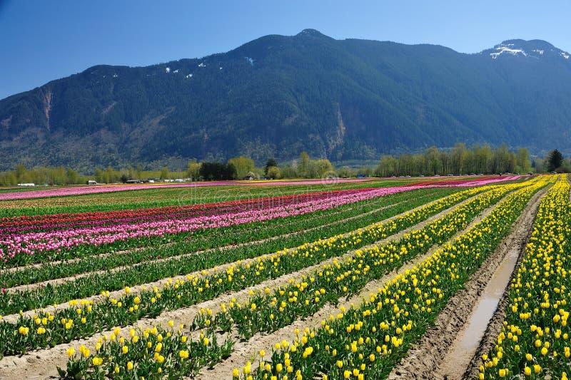 BC tulip field royalty free stock image