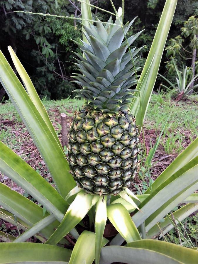 Beëindigen van een ananasboomgaard royalty-vrije stock afbeelding