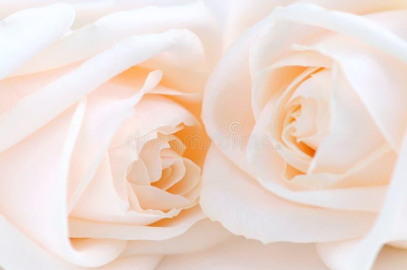 beżowe róże zdjęcia royalty free