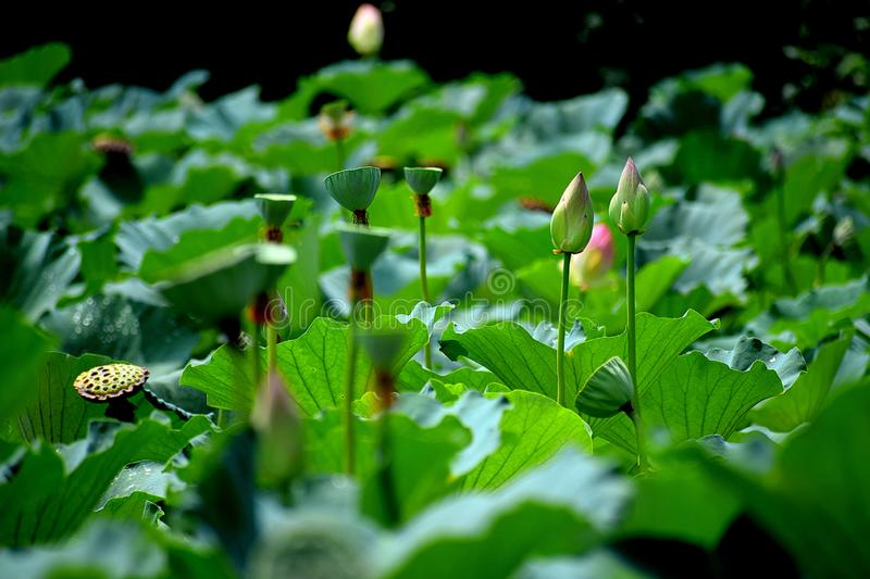 Lotus pond;No mud no lotus. Be as the Lotus, open to the rising sun, Unaffected by the muddy depth of its birth or even the water which sustains it royalty free stock photo