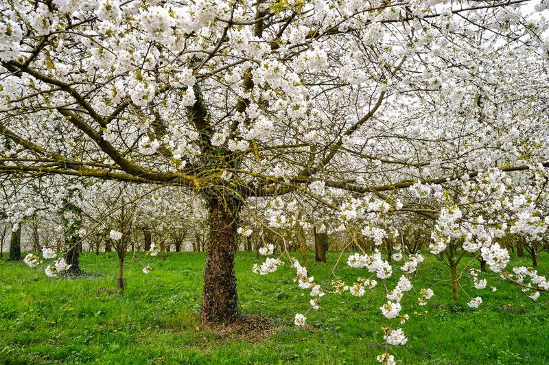 Blooming apple trees, green meadow stock image