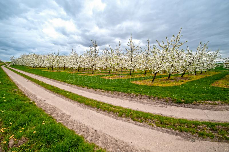 Rows of blooming apple trees royalty free stock photography