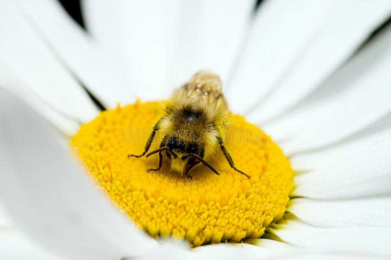 Be pollinating a flower stock photography
