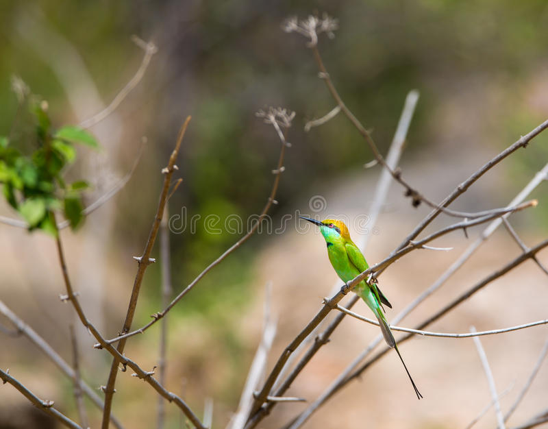Bea Eater verde vicino a Bangalore India immagine stock libera da diritti