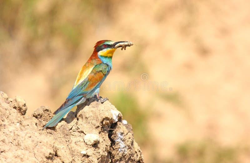 Bea-mangiatore con la preda fotografia stock