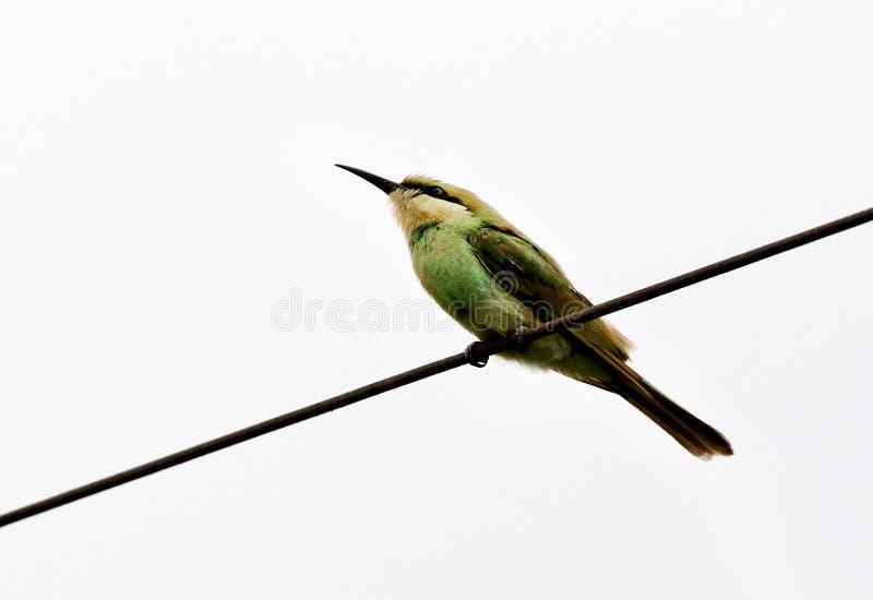 Bea-mangiatore verde fotografie stock libere da diritti