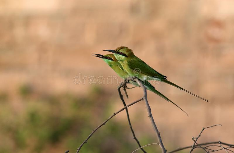 Bea-mangiatore verde immagini stock libere da diritti