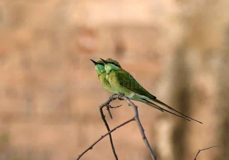Bea-mangiatore verde immagine stock libera da diritti