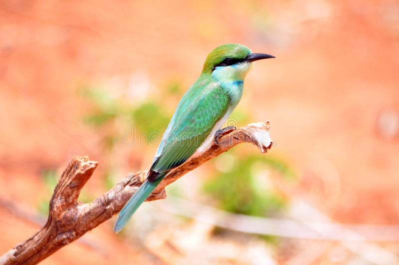 Bea-mangiatore verde fotografie stock