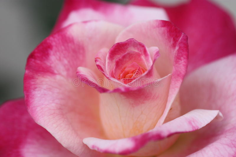 Bea's Roses stock photography