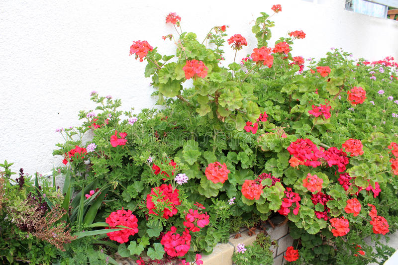 Beaautiful geranium flowers royalty free stock photos