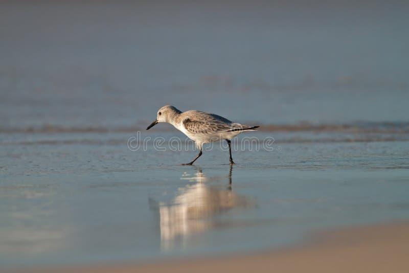 Download Beach Bird stock image. Image of beak, bird, blue, animal - 28635127