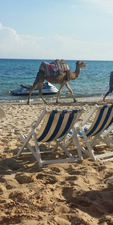 Beach Camel royalty free stock image