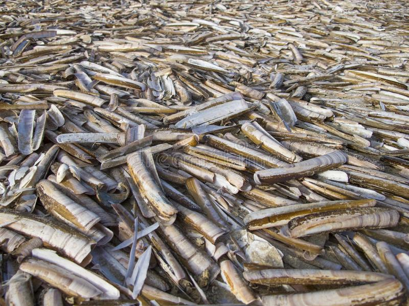 Beach covered with razor sword shells in The Netherlands. A carpet of razor sword shells at the beach of the North Sea coast royalty free stock image