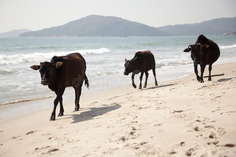 Download Beach Cows Royalty Free Stock Image - Image: 28418676