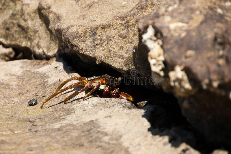 Beach crab. On its doorstep on a rocky beach in South Africa stock images