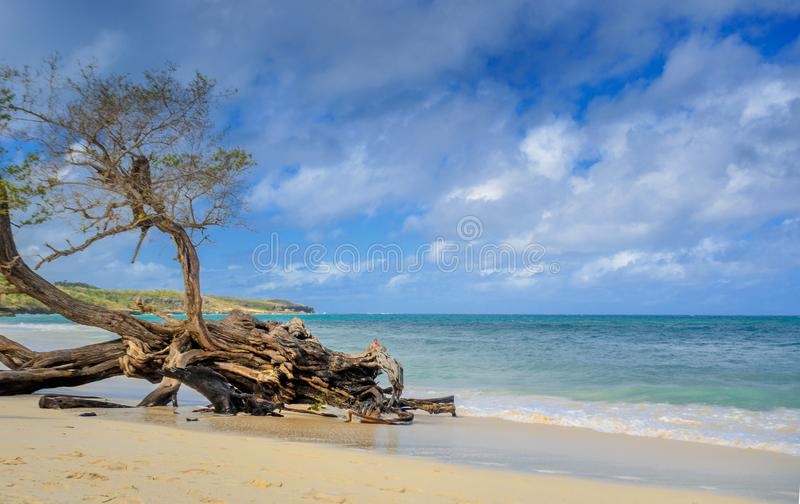Beach of the cuban coast with a big old tree thrown by the surf royalty free stock images