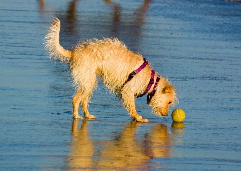 Beach_dog_ball imagen de archivo libre de regalías