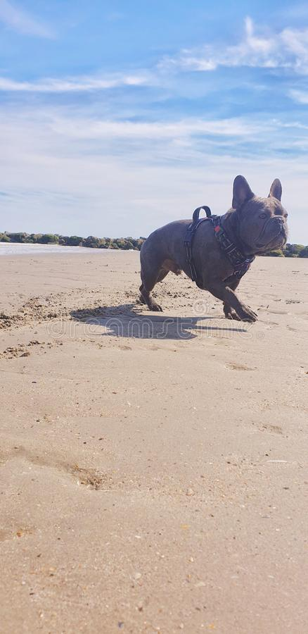 beach dog french bulldog stock photos