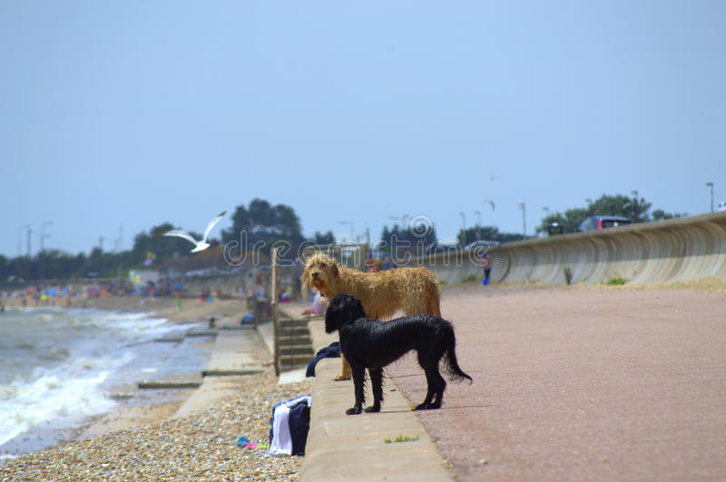 Beach dogs Kent United Kingdom. Two dogs standing at a seaside promenade looking to the sea at Dymchurch and St.Mary`s beach,Kent United Kingdom stock photos