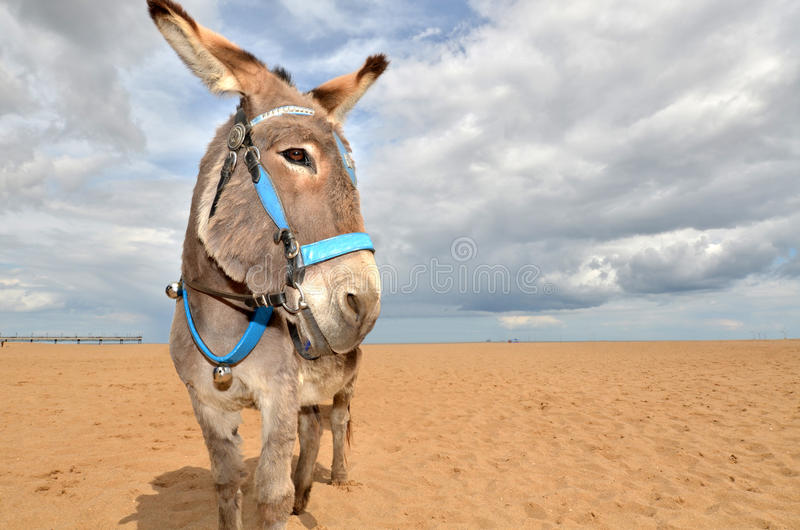 Beach Donkey. Donkey on the beach, ready for traditional rides for children stock images