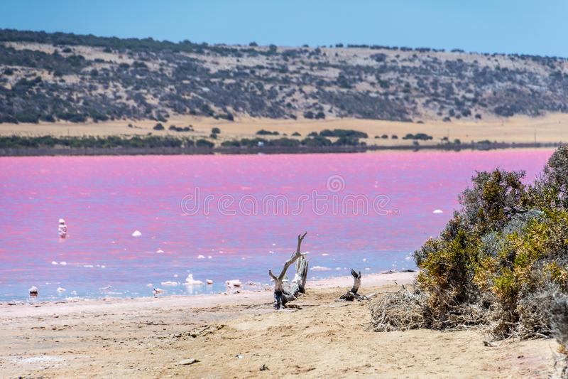 Beach with drift wood of the Pink Lake next to Gregory in Western Australia stock photography