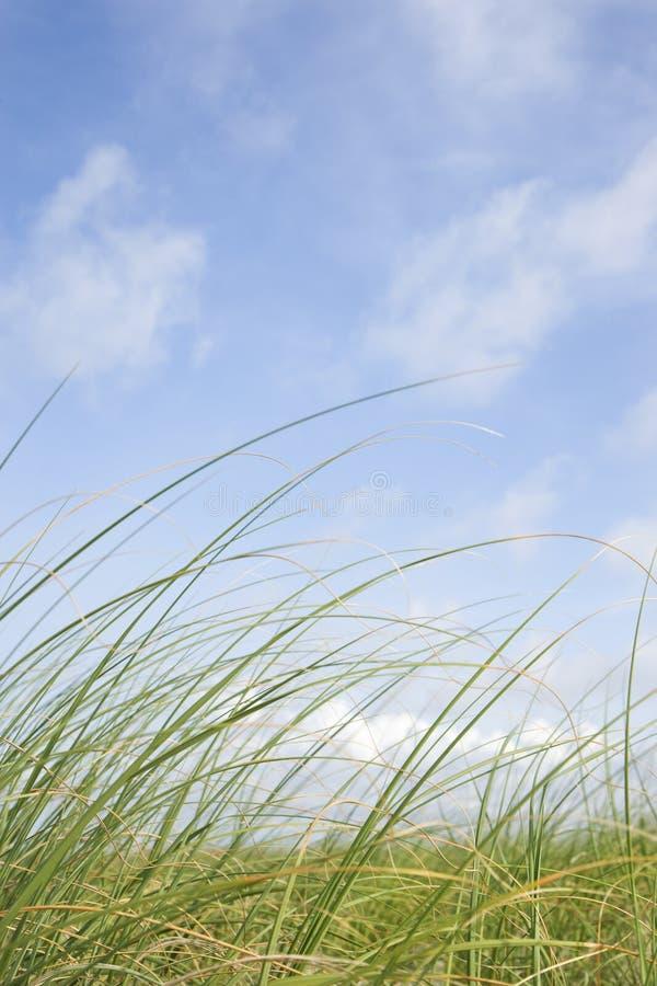 Beach grass against blue sky. stock photography