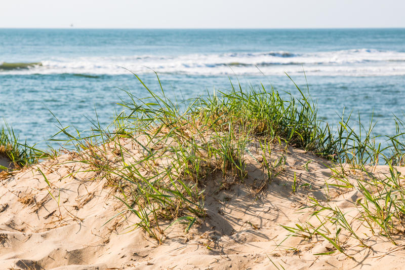 Beach Grass in Dunes in Virginia Beach with Ocean Background royalty free stock photography